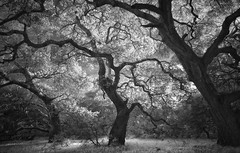Oak Trees (nlwirth) Tags: helenputnamregionalpark sonomacounty infrared ir nlwirth yup petaluma california blackandwhite monochrome trees oak