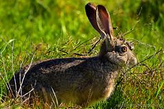 JackRabbit_01 (DonBantumPhotography.com) Tags: wildlife nature animals birds donbantumcom donbantumphotographycom rabbit bunny hare jackrabbit