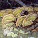 Wood Fungus