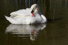 Mute swans in Gisketjern (Svein K. Bertheussen) Tags: cygnusolor muteswan svane knoppsvane gisketjern sandnes rogaland norway norge nature natur vann water lake tjern fugl bird