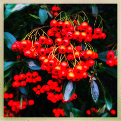 Bright Berries (Julie (thanks for 8 million views)) Tags: 100xthe2019edition 100x2019 image43100 pyracantha berries firethorn fruit squareformat hipstamaticapp iphonese 2019onephotoeachday flora