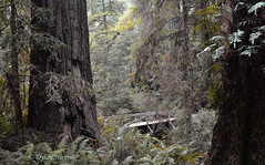 Bridge in the Wilderness (dylanawol66) Tags: forest bridge trail path trees redwood fern undergrowth foliage density northamerica california lostcoast