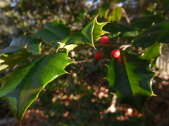 DSCN3624 (tombrewster6154) Tags: christmas holiday vacation holly tree leaves berries red green branches prickly pointy patio weston massachusetts late december early winter 2018 2019 sunlight afternoon beautiful day brown wooden fence blue sky