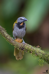 Buff-throated Saltator (Osprey-Ian) Tags: buffthroatedsaltator costarica
