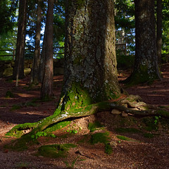 Tree and moss love affair (lebre.jaime) Tags: portugal beira covilhã forestpark tree lightbeam nikon d600 afsnikkor5018g digital fullframe squareformat affinity affinityphoto moss root means