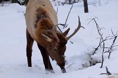 DSC_0762 (Varanous) Tags: alberta animal nature elk canadianrockies rockies jasper nationalpark