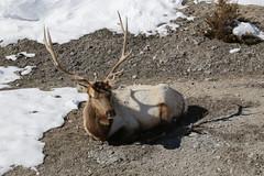 IMG_4311 (ah7925) Tags: yellowstone national park march elk bull wildlife animal snow