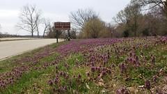 2019 Bike 180: Day 37 - Those Purple Deadnettles (mcfeelion) Tags: cycling mountvernontrail spring flower bike bike180 bicycle 2019bike180 wildflower weed