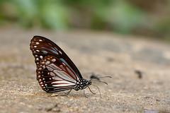 Parantica melaneus ssp. plataniston - Chiang Dao_20180205_1412_DSC_8480_DxO (I love comments but delete awards - Jan F. Rasmuss) Tags: thailand d800 butterfly butterflies macro closeup insecta lepidoptera rhopalocera nikon janfischerrasmussen janfrasmussen asia southeastasia nymphalidae nymphalid nymphalids danainae danaidae paranticamelaneussspplataniston paranticamelaneus parantica melaneus plataniston doi chiangmai chiangmaiprovince