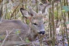 European Roe Deer (Mike Slade.) Tags: europeanroedeer buck roebuck capreoluscapreolus stovercountrypark newtonabbot devon nikon ©mikeslade