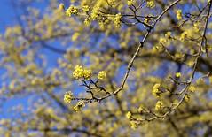 Kornelkirsche / Cornelian cherry (Cornus mas) (HEN-Magonza) Tags: botanischergartenmainz mainzbotanicalgardens rheinlandpfalz rhinelandpalatinate deutschland germany frühling spring flora