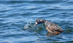Harlequin Duck Diving (Jonah P) Tags: duck sea seaduck bird barnegatlightstatepark barnegatlighthouse lighthouse state park green nature environment blue red white ocean atlanticocean beautiful landscape