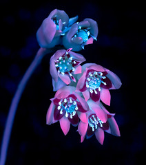 Starfall (Don Komarechka) Tags: lumix s1r lumixs1r lumixstories 24105 nature flower floral blooming nectar pollen glowing fluorescing fluorescent fluorescence uv ultraviolet uvivf adaptalux succulent science physics botany