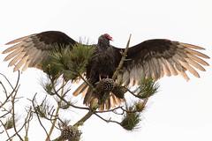 Turkey Vulture (Lisa Roeder) Tags: marinaboardwalk morrobay nature spreadwings turkeyvulture wildlife wingspan