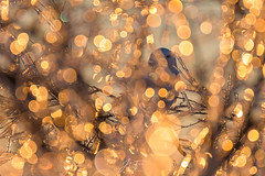 Bokeh party! (jlf_photo) Tags: snowy owl bokeh winter cold ice snow quebec canada wildlife wild bird animals