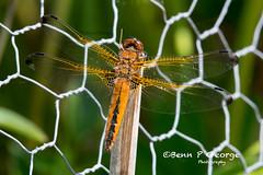 SCARCE-CHASER-DRAGONFLY-27-5-18-RSPB-STRUMPSHAW-FEN-(2) (Benn P George Photography) Tags: rspbstrumpshawfen 27518 bennpgeorgephotography rspb scarcechaser dragonfly chaser nature fens norfolk norwich nikon nikond7100 nikon200500 d7100