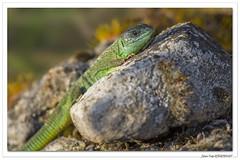 Reptiles en Alsace : lézard vert au soleil. (C. OTTIE et J-Y KERMORVANT) Tags: nature animaux reptiles lézards lézardvert alsace france