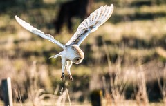 Missed again!! (toothandclaw1) Tags: barn owl raptor bird prey hunting out luck this time