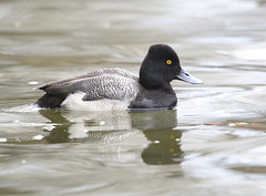 Greater Scaup (rivadock4) Tags: greaterscaup southrive maryland duck diving