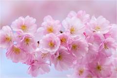 Spring time (Mariannevanderwesten) Tags: blossom bloesem flower bloem pink roze natuur spring lente voorjaar macro nikon nature