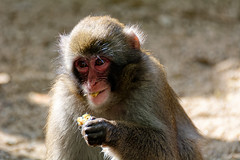 You Want Some? (Alfred Grupstra) Tags: wildlife monkey animal macaque mammal primate nature animalsinthewild outdoors asia japan ape japanesemacaque naganoprefecture cute sitting forest mother looking closeup 986