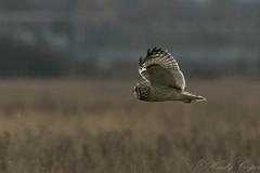 Short Eared Owl-1247 (WendyCoops224) Tags: 100400mml 80d fens canon eos ©wendycooper asio flammeus short eared owl