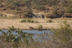 Lions at the River Bank (Rckr88) Tags: lions river bank lionsattheriverbank rivers riverbank water sabie sabieriver lowersabie krugernationalpark southafrica kruger national park south africa nature naturalworld outdoors wilderness wildlife bigcat