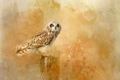 The Looker (Beve Brown-Clark) Tags: seo owl bird birdofprey rejoice predator painterly shortearedowl shortie nature wildlife ©bevebrownclark