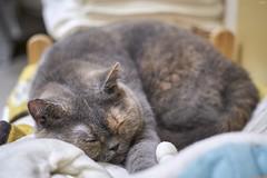 A9__DSC3132_C1 (Bazoka+Cynthia) Tags: oni cat 小婆 新北市 樹林區 貓
