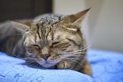 A9__DSC3121_C1 (Bazoka+Cynthia) Tags: delta cat 小婆 新北市 樹林區 貓