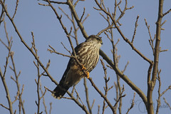 Beauty of a merlin (DML0mba) Tags: birds sandyneck beach 7dmarkii 7d