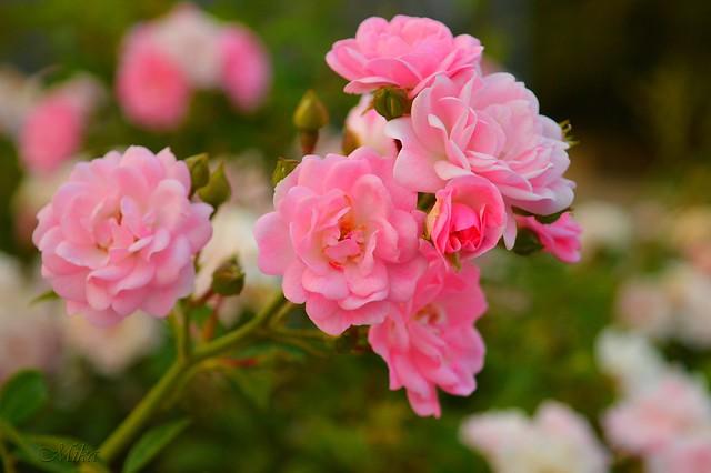 Обои Розы, Roses, Pink roses, Розовые розы картинки на рабочий стол, раздел цветы - скачать