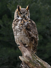 Oliver Great Horned Owl CRC IMG_4640 (Jennz World) Tags: ©jennifermlivick canadianraptorconservancy vittoria ontario canada greathornedowl owl raptor