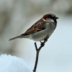 House Sparrow (Passer domesticus) (gabicuff1) Tags: housesparrow passerdomesticus abbotsford british columbia canada