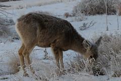 Mule Deer Doe On A Cold, Frosty Morning (fethers1) Tags: rockymountainarsenalnwr rmanwr rmanwrwildlife coloradowildlife deer muledeer muledeerdoe