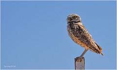 Burrowing Owl (jerrywb2010) Tags: birds contralomareservoir antioch ca eastbayregionalparkdistrict ebparksok sfbayarea eastbay owl