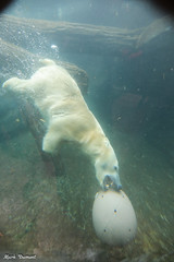 G08A5623.jpg (Mark Dumont) Tags: polar bear zoo mark dumont mammal cincinnati