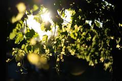 Vineyard Vibes (ThyNameIsBlair) Tags: australia outback bendigo farmlife オーストラリア アウトバック ベンディゴ 牧場ライフ