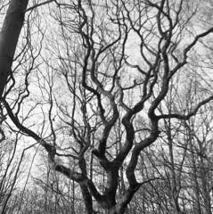 Trees (rotabaga) Tags: sverige sweden svartvitt göteborg gothenburg lomo lomography lubitel166 mediumformat mellanformat 120 6x6 diy blackandwhite bw bwfp