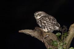 Little Owl (Athene noctua) (phil winter) Tags: littleowl athenenoctua night mouse nocturnal