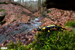 Fire salamander, Salamandra salamandra @ Thüringen 2019 (Jan Rillich) Tags: feuersalamander firesalamander amphibians salamander yellowspots salamandrasalamandra salamandra thüringen march märz wideangle weitwinkel funny fisheye fischauge rillich janrillich canon canon5d jan photo foto picture photography fotografie eos digital wildlife animal nature beautiful beauty sunny sun fauna flora free animalphotography image urban urbannature 5dmarkiii sigma15mm sigma 15mm