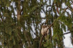 Der kleine Kobold aus dem Wald (eric-d at gmx.net) Tags: kauz sperlingskauz pygmy eurasian eule strigidae glaucidium passerinum ngc eric wildlife birds birdofprey vogel wald naturepicturede