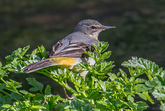 DSC8286  Grey Wagtail.. (Jeff Lack Wildlife&Nature) Tags: greywagtail wagtail wagtails birds avian animal animals wildlife wildbirds wetlands waterbirds waterways wildlifephotography jefflackphotography riverbirds rivers riverbanks streams lakes ponds countryside nature