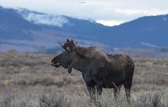 Moose (agnish.dey) Tags: moose mammal wildlife naturallight nature naturephotograph nikon naturethroughthelens nationalpark animalplanet coth wyoming grandtetonnationalpark yellowstone d500 rockymountains