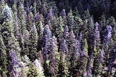 1974. Aerial view of Douglas-fir tussock moth defoliation. Eastern Oregon. (USDA Forest Service) Tags: usda usfs forestservice foresthealthprotection stateandprivateforestry region6 r6 divisionoftimbermanagement pacificnorthwestregion insectanddiseasecontrol forestinsect foresthealth forestprotection forestentomology pnw douglasfirtussockmoth tussockmoth defoliation 1974 aerialphoto aerialphotography oregon oblique lowelevation aerialsurvey aerialdetectionsurvey