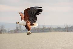 Fish Eagle (sam.healy) Tags: eagle fish