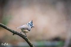 Crested tit (Renate van den Boom) Tags: 01januari 2019 belgië europa jaar kalmthout kuifmees maand renatevandenboom vogels