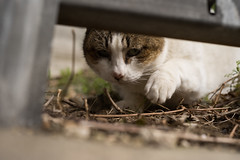 Cat peek (YamatoHishino) Tags: snap snapshot cat stray straycat feral feralcat homeless homelesscat wild japan japanese osaka sony α7 α7ⅲ a7 zeiss carlzeiss planar 45mm contax ネコ 猫 野良猫 スナップ プラナー