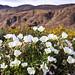 California evening primrose in Henderson Canyon
