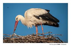 White Stork (Ignacio Ferre) Tags: whitestork stork cigüeñablanca cigüeña ave bird pájaro animal nikon nido nest naturaleza nature